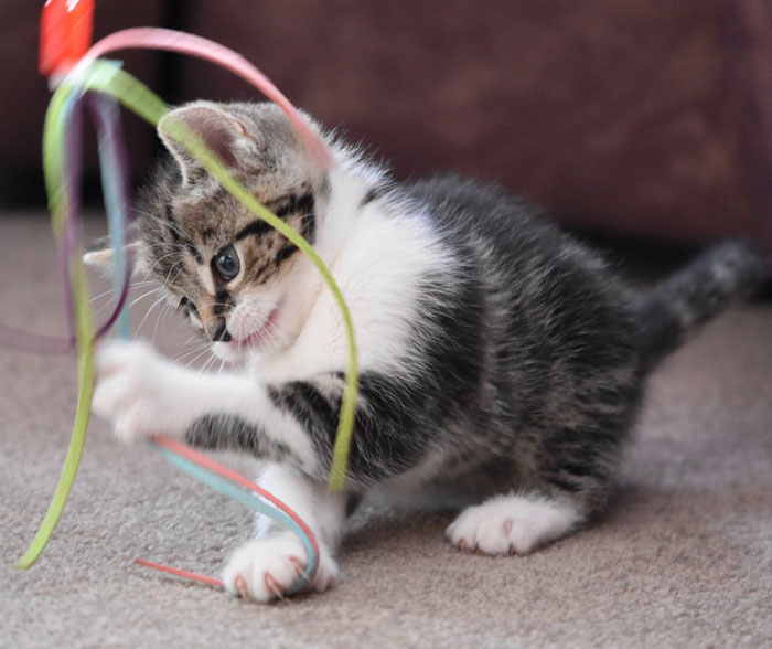 Kitten playing with ribbon.