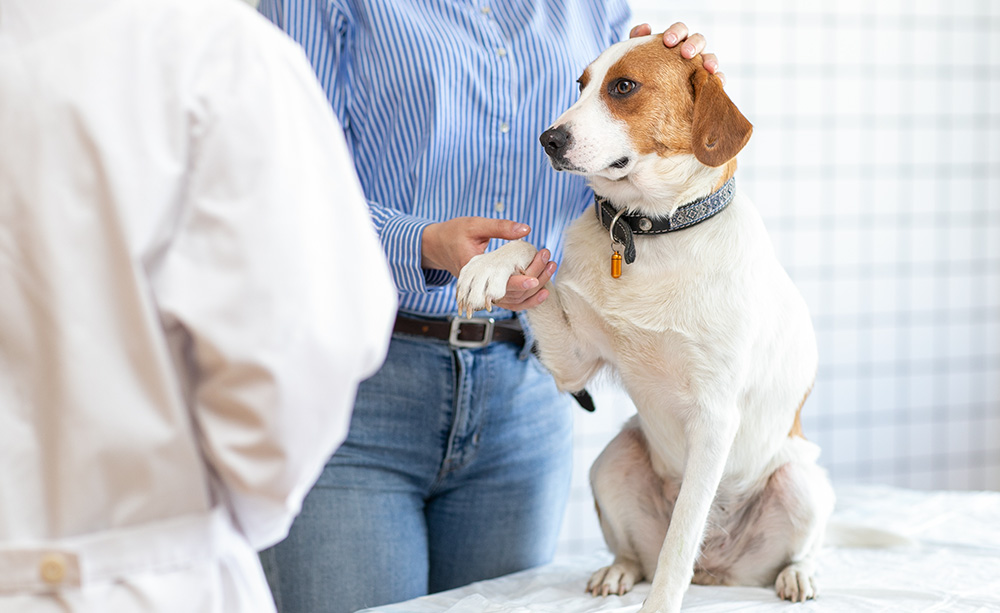 A white and brown beagle being examined in a bright, clean veterinary clinic.